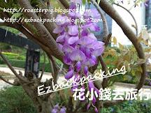 香港紫藤花好去處+紫藤開花情報