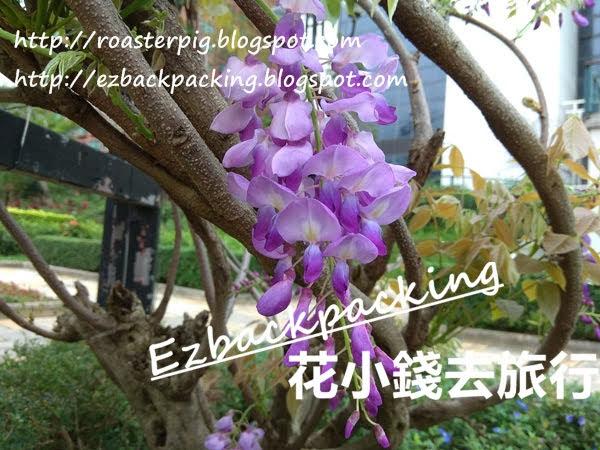 2021年香港紫藤花好去處+4月14日開花情報