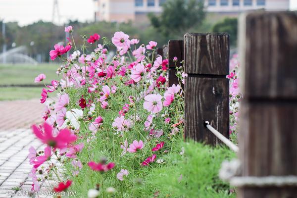 后里花田綠廊大波斯菊花海盛開,賞花拍照順遊棒棒糖花海