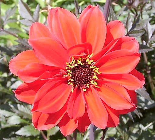 Dahlia 'Bishop of Llandaff' red flower