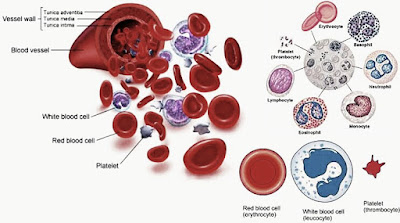 Structure of blood components