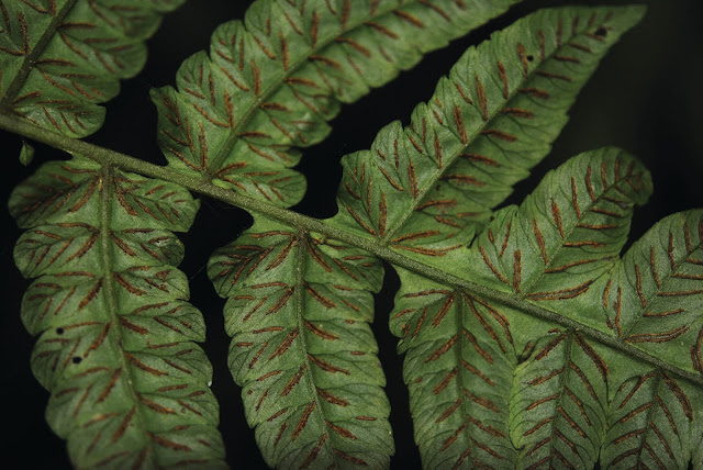 Researchers reveal the biogeographical patterns of fern diversity