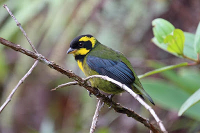 Gold ringed Tanager