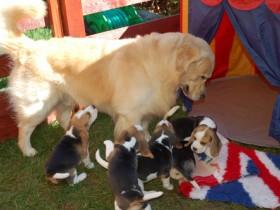 convivência de filhotes e cães maiores