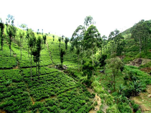 Tea Plantation, Sri Lankan tea