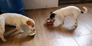 Porridge for breakfast for the puppies