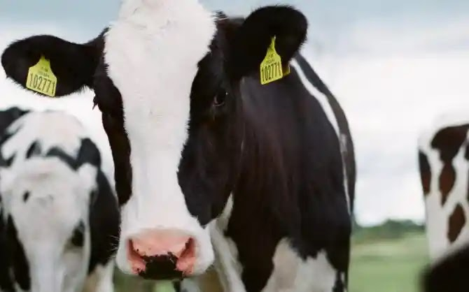 The leading Chinese dairy company in Pakistan to introduce embryo breeding technology