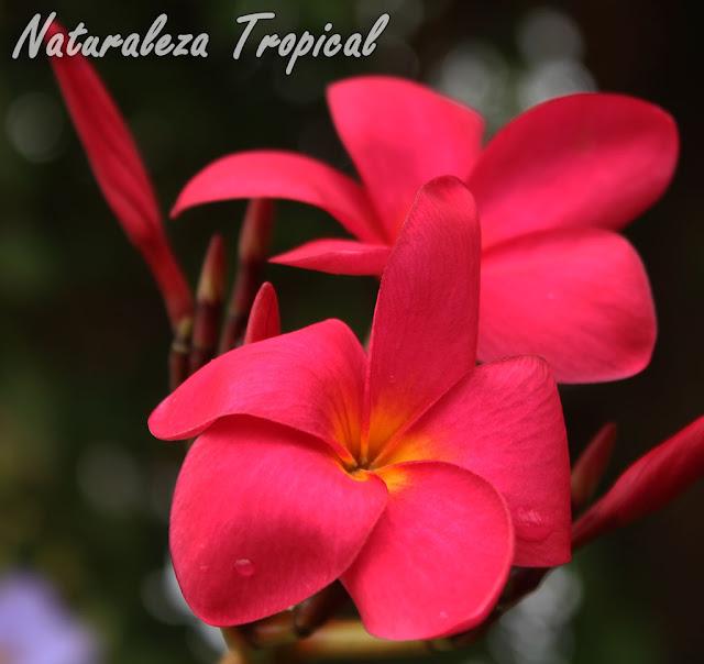 Flor del popular Árbol de Mayo, género Plumeria