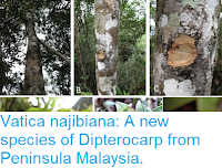 https://sciencythoughts.blogspot.com/2018/08/vatica-najibiana-new-species-of.html