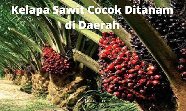 Kelapa Sawit Cocok Ditanam di Daerah