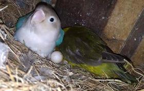 Cara ternak Love Bird di lampung