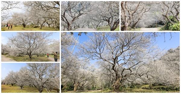 南投中寮劉家梅園秘境兩百棵老梅樹盛開,賞梅花不會人擠人