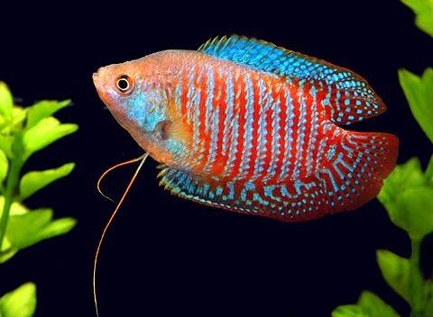 Caring for Gourami Fish