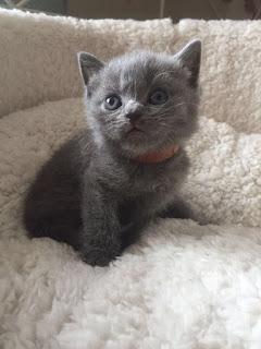 champion british shorthair cat