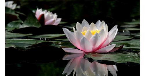 Coretan Penuh Makna Falsafah Bunga Teratai