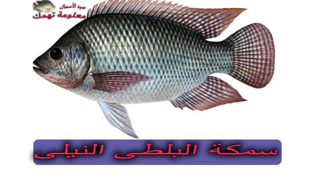 سمك البلطى النيلى