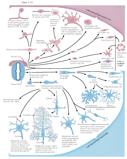 GENERATION OF NEURONAL DIVERSITY IN THE SPINAL CORD AND HINDBRAIN