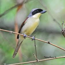 Foto Burung Pentet Daftar Harga Terbaru