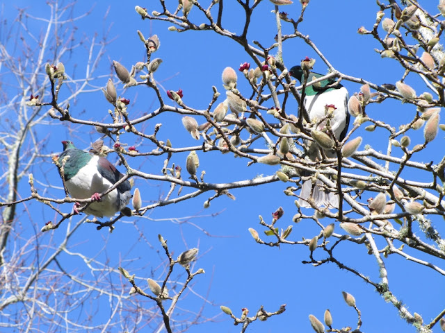 two-kereru-wood-pigeons