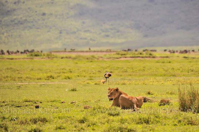 Ngorongoro Crater, Lioness, Wild Kenya Safaris, www.wildkenyasafaris.com, Tanzania Safaris, Safaris in tanzania, ngorongoro crater safari