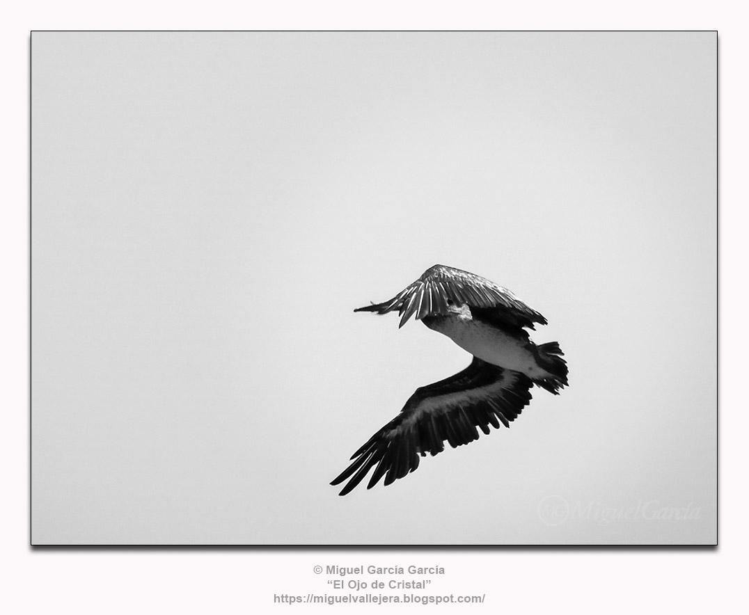Yacila, Perú.- Pelícano en vuelo.