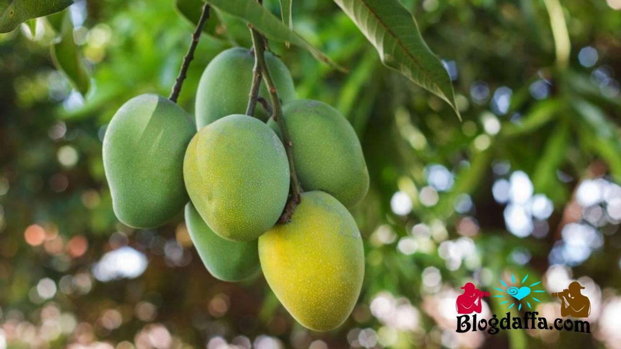 Masa panen buah mangga