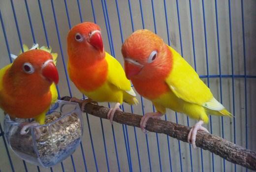 Ternak Lovebird Cara Poligami