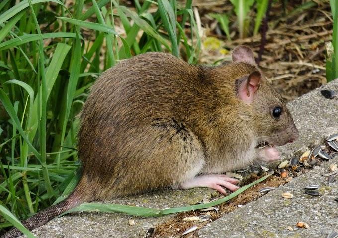 चूहों से जुड़ी कुछ रोचक जानकारी। ऐसा मन्दिर जहाँ 20000 चूहे रहते है।