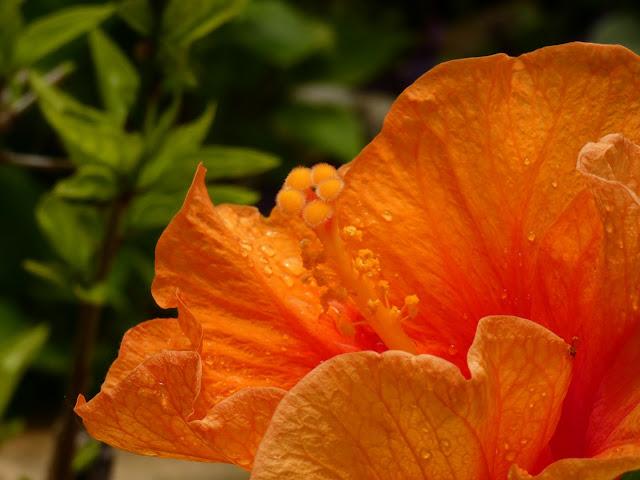 Orange Hydrangea - Sincerely Loree