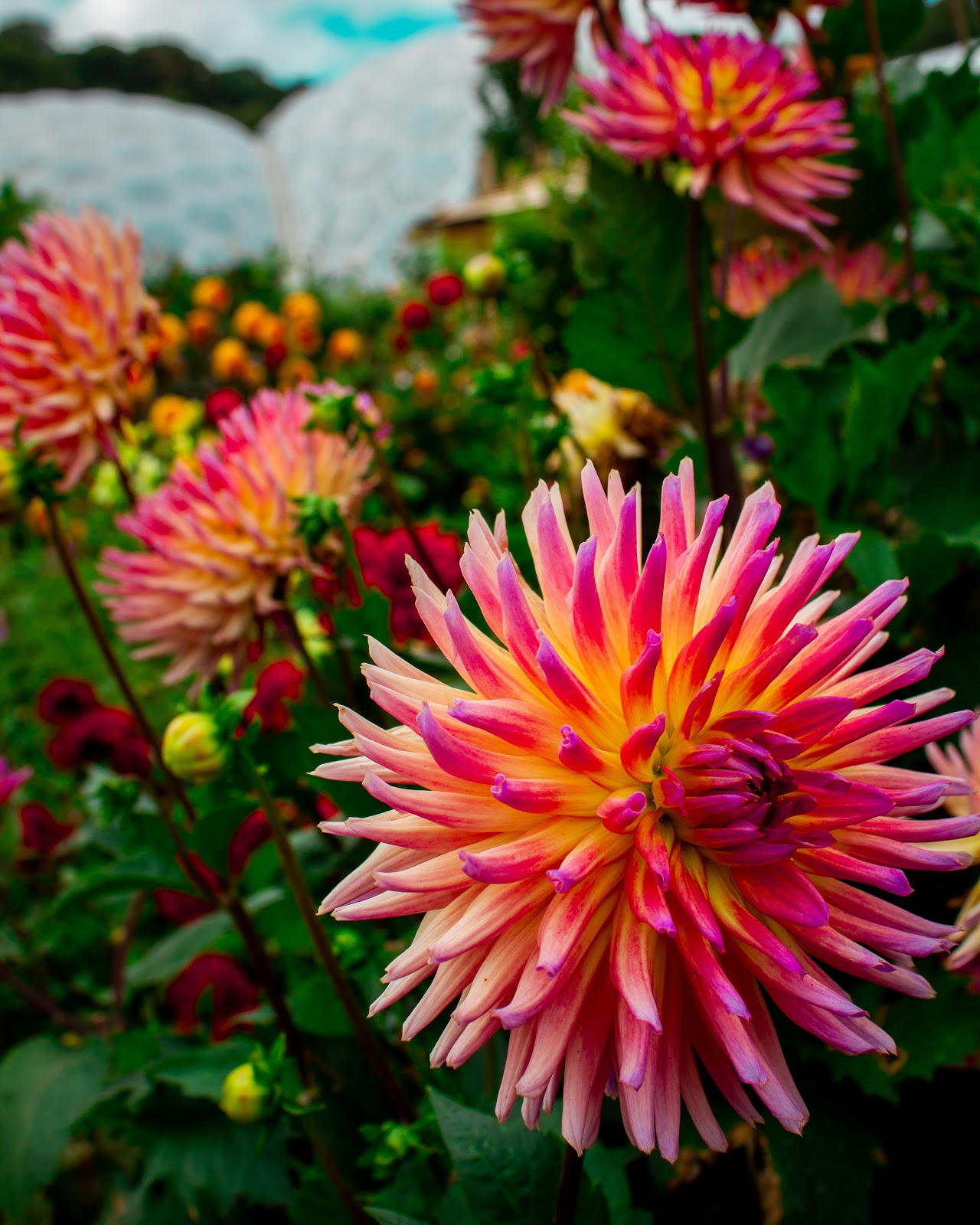 chrysanths-flowers, flower wallpaper images