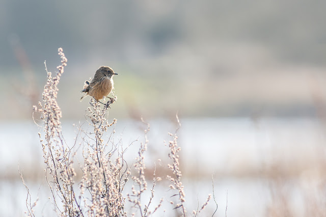 Stonechat fluffed by the wind