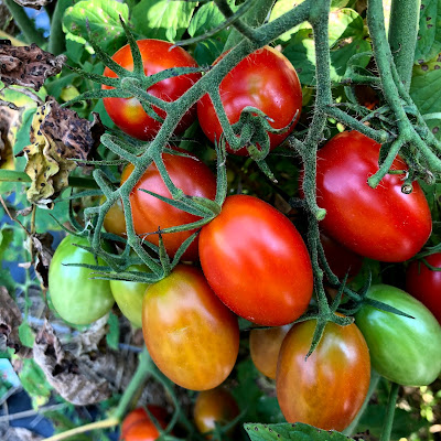 cluster of small tomatoes at varying stages of ripeness.