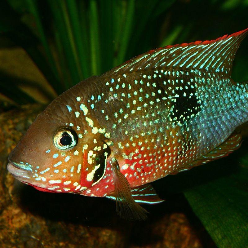 Tempat pemijahan Ikan Mulut APi