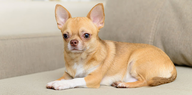 Chihuahua: Breed Facts and Temperament