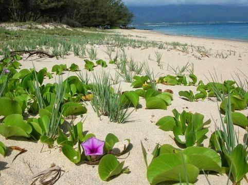 Loài hoa muống biển