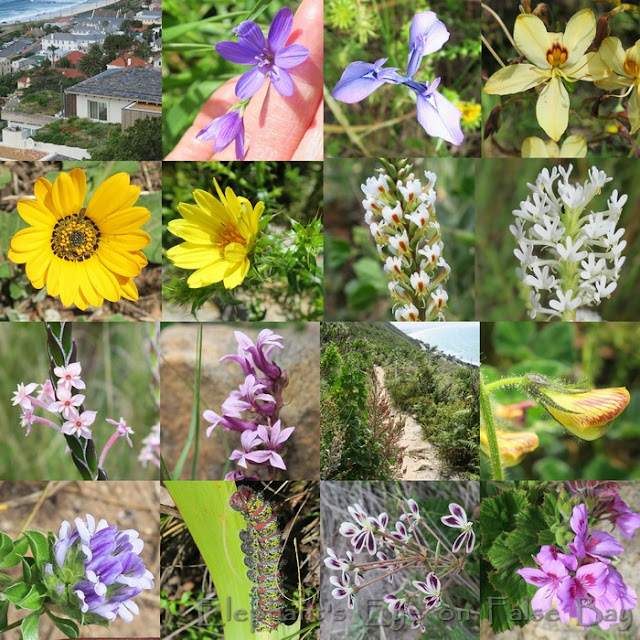 October flowers along the Mule Track in Kalk Bay