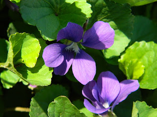 Viola odorata Wood violet spring flowers in a Riverdale ecological garden by garden muses-not another Toronto gardening blog