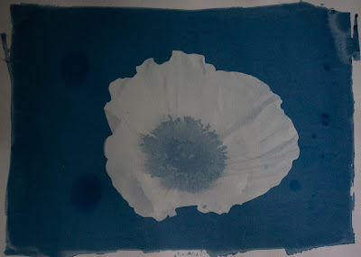 A cyanotype image of a poppy and a blurb about the most common misspelled words by state.