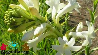 Manfaat bunga sedap malam untuk kesehatan tubuh