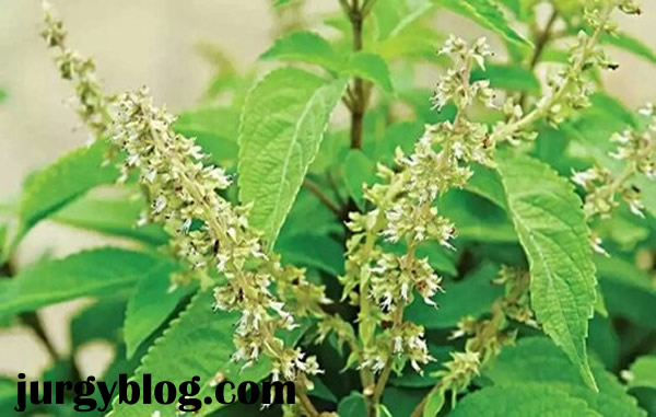 Scent leaf farming in Nigeria: step by step guide
