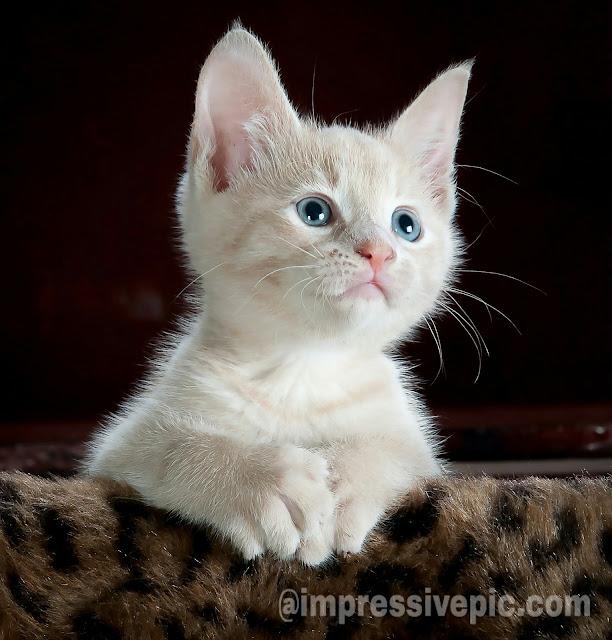 Cute White Cat beautiful image for WhatsApp status