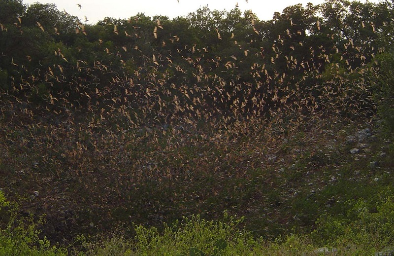 Bracken Cave - The world's largest colony of bats, now likely to cause damage to humanity