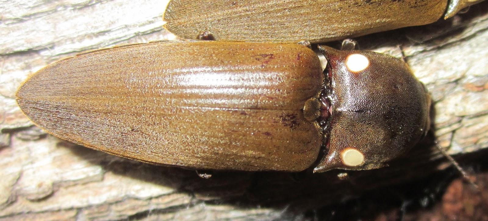 Pyrophorus2020%252315.JPG