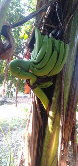 Buah pisang ajaib