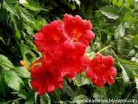Milin wielkokwiatowy- Campsis grandiflora