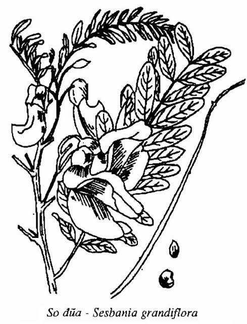 Hình vẽ So Đũa - Sesbania grandiflora - Nguyên liệu làm thuốc Chữa Cảm Sốt