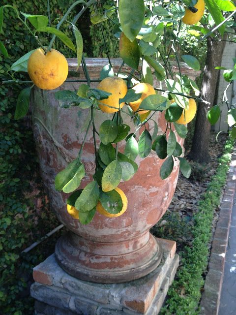 Potted Citrus Trees Ripe With Old World Elegance And Charm!