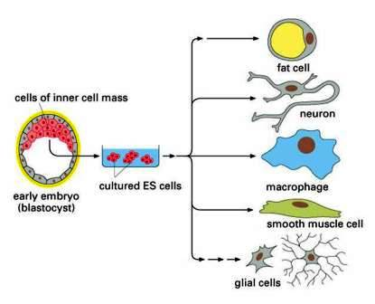 What is cell differentiation biology exams 4 u totipotent embryonic stem cell ccuart Images