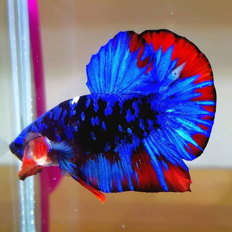 What Is So Fascinating About Betta Fish Flaring?