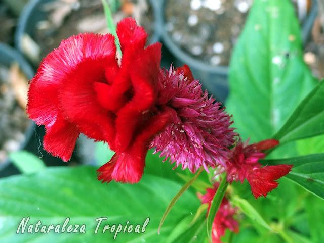 Cristación en la flor de una especie del género Celosia